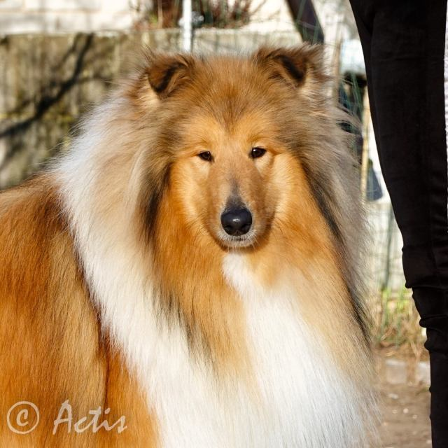 Actis collie