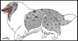 collie bluemerle z białych faktorem